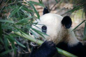 panda bear eatting bambo from pixabay