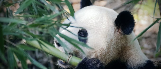 panda bear eatting bambo from pixabay