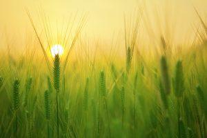 barley field from pixabay