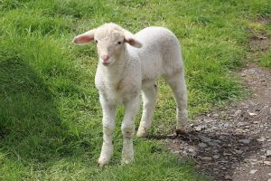 sheep picture from Pixabay